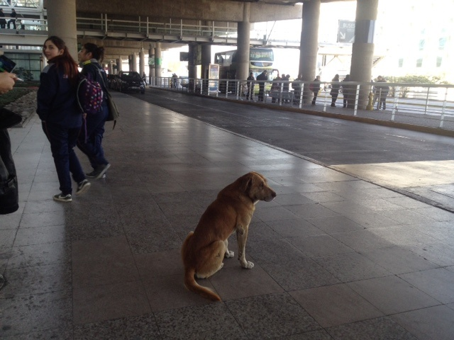 Dog just chilling at the airport