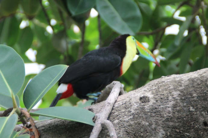 These are flying around the hotel. You can get really close to them I wondered today if I might even be able to touch one. Then thought of the logistics of riding a bike with a bitten hand. They are called Toucan