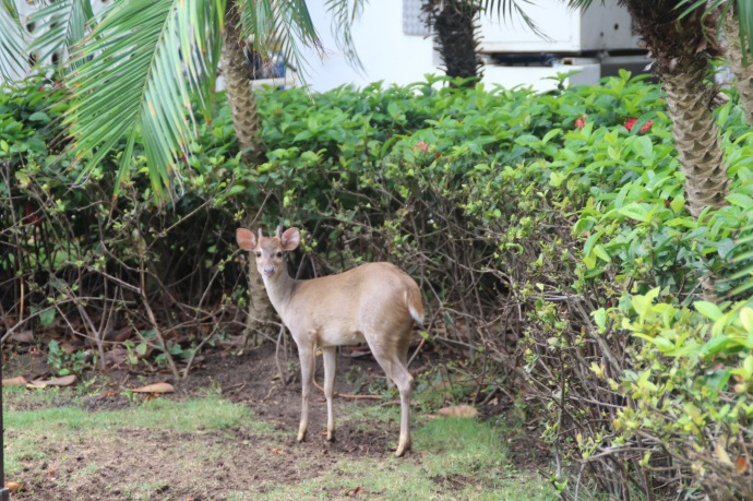 Roaming freely around the hotel grounds