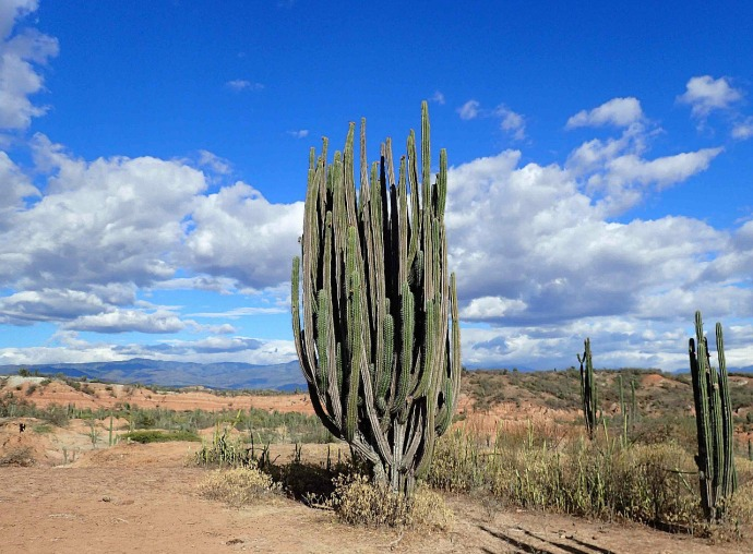 Giant cacti (Photo credit: Sue's blog)