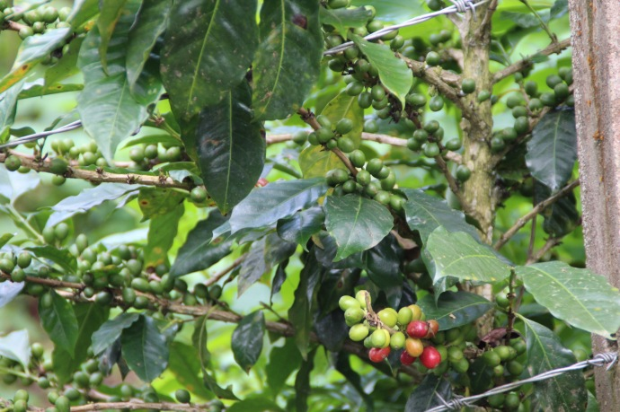 Coffee beans on a plant in Columbia