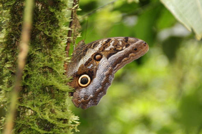 Beautiful butterfly on jungle tour, when it was flying the inside of the rings are brilliant blue.