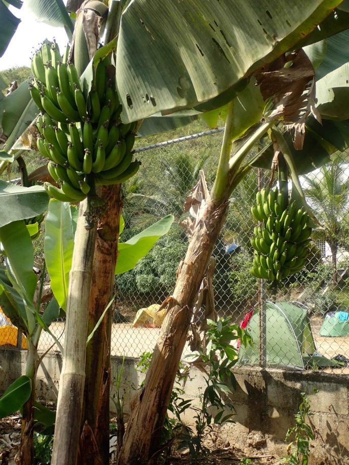 Banana trees growing right by the tents (Photo and caption credit: Sue's blog)