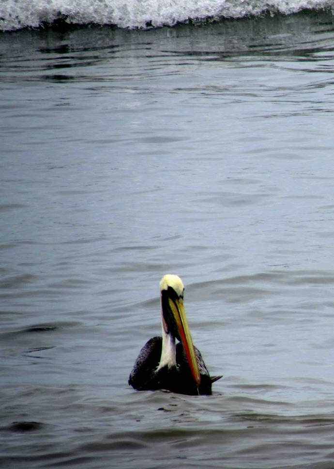 A pelican on the water (Photo and caption credit: Sue's blog)