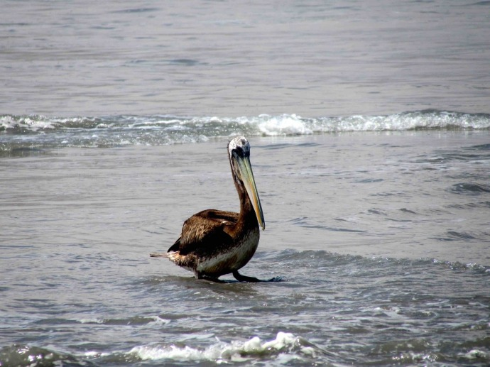 A pelican in the bay (Photo and caption credit: Sue's blog)