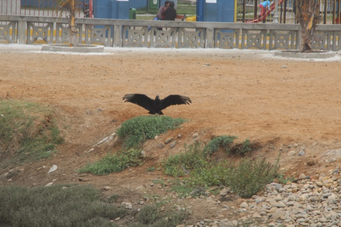 A vulture airing its wings