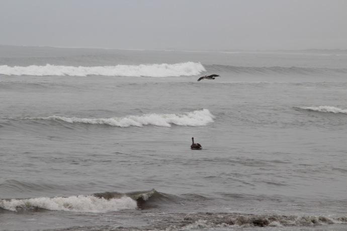 Pelicans keeping close eye on fish market in Pacasmayo