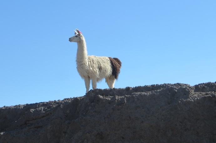 An alpaca (Photo credit: Laura and Greg's blog)