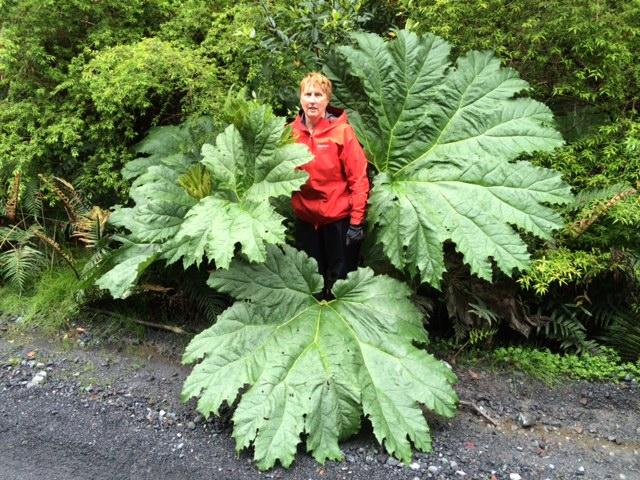 Chilean Giant Rhubarb